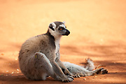 Ring Tailed Lemur, Lemur catta, Berenty National Park, Madagascar, sitting on ground in early morning sun, warming, resting
