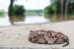 Copperhead snake on dry part of flooded trail near Little Lemon Lake, Great Trinity Forest, Dallas, Texas, USA