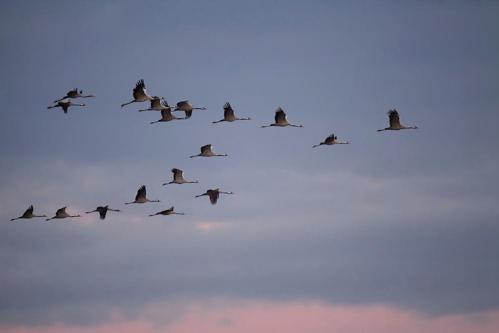 Cranes flying in morning  light, Montier en Der, France