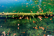 Submerged log and autumn leaves, Plitvice National Park, Croatia