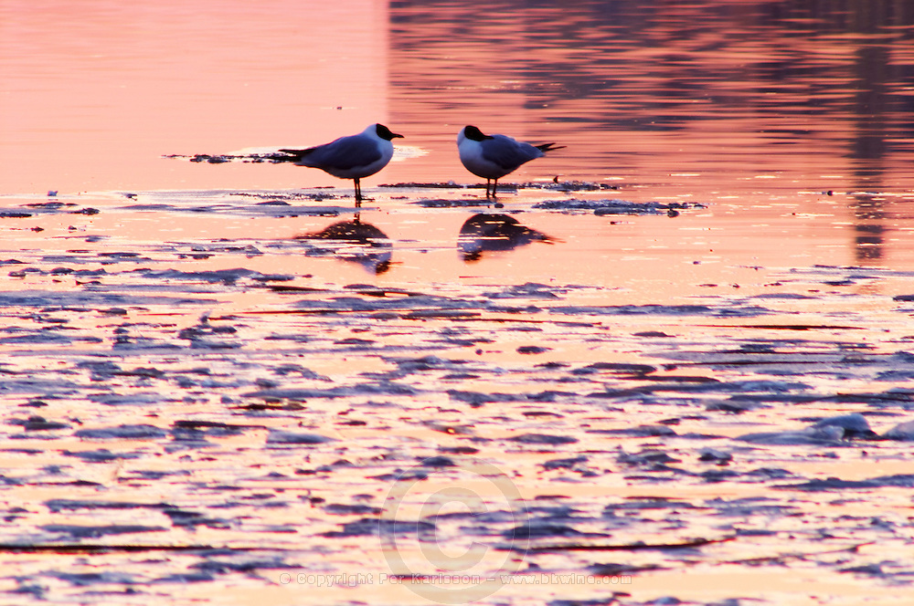 Evening view at sunset over an ice covered Riddarfjarden water towards the west with two seagulls standing on an ice flake iceflake Stockholm, Sweden, Sverige, Europe
