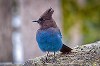 Like other jays, crows and ravens, the Stellars' jay is extremely intelligent. It has a number of calls which it used to communicate with other jays, and to trick other birds. It can imitate the cry of the red-tailedhawk, the red-shouldered hawk and other predators to dissuade them of staying in the area.