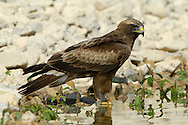 Lesser Spotted Eagle - Aquila pomarina
