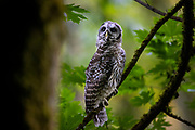 A young barred owl (Strix varia) stretches on its perch in dense forest in Edmonds, Washington. Barred owls feed mainly on small mammals, but will also prey upon other birds, reptiles, invertibrates and amphibians if the opportunity presents itself.