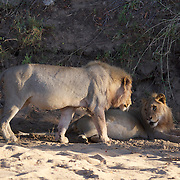 Africa lion, pride resting after feeding, Timbavati Game Reserve, South Africa.