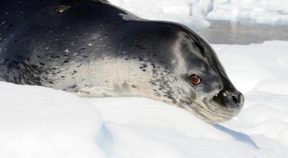A Leopard Seal (Hydrurga leptonyx) lies on an ice floe in Hope Bay. Hope Bay,  Trinity Peninsula,  Antarctic Peninsula, Antarctica. 02Mar16