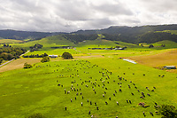 Aerial view of cows grazing at farm land, New South Wales, Australia.
