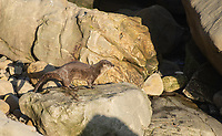 River Otter, Lutra canadensis, on the Pacific Coast in Sonoma County, California. River Otters spend most of their time in and around fresh water but will sometimes hunt in the ocean. This individual was photographed about one to two miles from the mouth of the Gualala River.