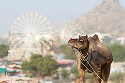"""© Licensed to London News Pictures. 21/11/2012. Pushkar, India. A  camel stands before a backdrop of the fairground at the Pushkar Camel Fair in Rajasthan, India. The Pushkar Fair, or Pushkar ka Mela, is the annual five-day camel and livestock fair, held in the town of Pushkar in the state of Rajasthan, India. It is one of the world's largest camel fairs, and apart from buying and selling of livestock it has become an important tourist attraction and its highlights have become competitions such as the """"matka phod"""", """"longest moustache"""", and """"bridal competition"""".  Photo credit : Richard Isaac/LNP"""