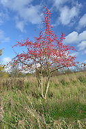 Spindle - Euonymus europaeus Celastraceae. Height to 6m <br /> Twiggy deciduous tree. Bark Smooth,grey, fissured and pink-tinged with age. Branches Numerous; young green twigs are angular. Leaves Ovate, to 10cm long, toothed. Reproductive parts Flowers yellowish, 4-petalled, in clusters. Fruits are pink capsules, 1.5cm across with 4 chambers. Status Local native of hedgerows and copses, especially on lime-rich soils.