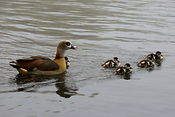 © Licensed to London News Pictures. 03/03/2021. London, UK. A goose and goslings in Finsbury Park pond, north London on a foggy morning. The Met Office has issued a yellow weather warning for fog in some parts of south east England with low visibility. Photo credit: Dinendra Haria/LNP