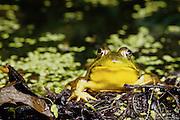 Bullfrog (Rana catesbeiana) in breeding color.