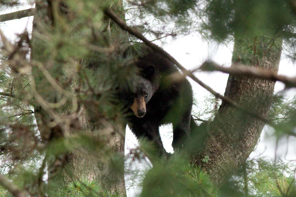 Brookline, MA 06/26/2012<br /> A black bear looks out from his perch in a tree on Pond Road in Brookline on Tuesday morning.  The bear was tranquilized by Massachusetts Environmental Police officers.