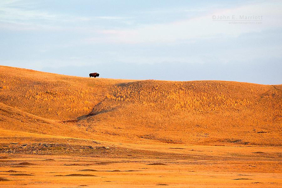 Prairie bison, Grasslands National Park, Saskatchewan, Canada