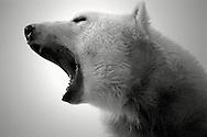 Schweden, SWE, Kolmarden, 2000: Ein Eisbaer (Ursus maritimus) gaehnt mit weit geoeffnetem Mund, Kolmardens Djurpark. | Sweden, SWE, Kolmarden, 2000: Polar bear, Ursus maritimus, yawning with wide open mouth, Kolmardens Djurpark. |