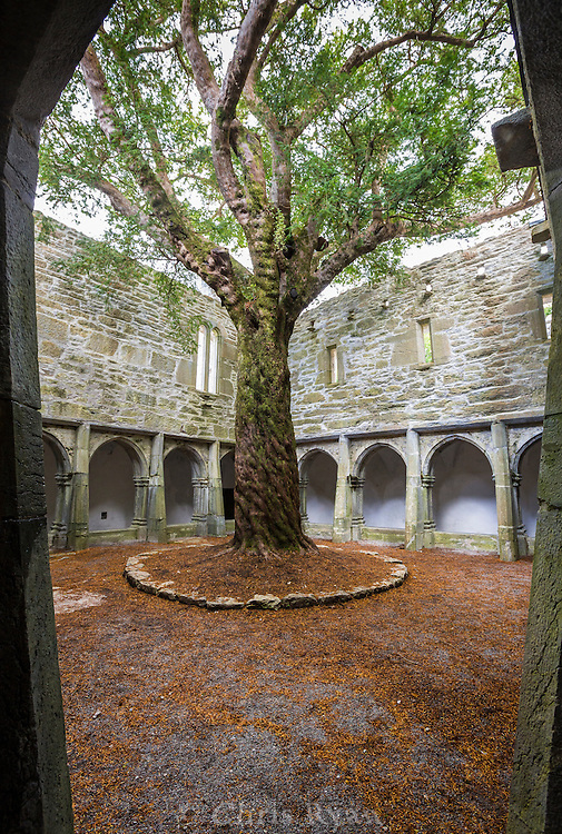 Yew tree in central coutryard of Muckross Abbey, County Kerry, Ireland