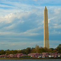 The Washington Monument towers over blooming cherry trees and the Tidal Basin in Washington, D.C.
