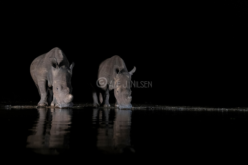White rhinoceroses (Ceratotherium simum) drinking from a pond in Zimanga Private Reserve, South Africa, during night.