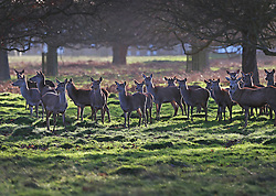 © Licensed to London News Pictures. 31/12/2015. London, UK. A herd of deer gather after being fed in Bushy Park. Photo credit: Peter Macdiarmid/LNP