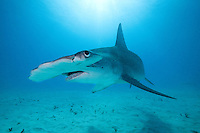Great Hammerhead Shark makes a close pass<br /> <br /> Shot in Bahamas