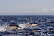 long-beaked common dolphins, Delphinus capensis <br /> (formerly lumped with common dolphin, Delphinus delphis ); jump sequence, #1 of 3, off San Diego, California, U.S.A. ( eastern Pacific Ocean )
