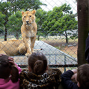 A lioness waits for feeding time watched by young children at Orana Wildlife Park, Christchurch. Set on 80 hectares, Orana Wildlife Park is New Zealand 's only open range zoo. .Over 400 animals from 70 different species are displayed. Mcleans Island Road, Christchurch, New Zealand. 9th June 2011. Photo Tim Clayton.