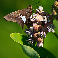 Close-up image of an adult silver-spotted skipper (Epargyreus clarus) feeding on the flowers of a common milkweed (Asclepias syriaca) plant, Big Meadow, Shenandoah National Park, Virginia