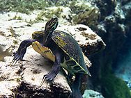 Coastal Plain Cooter (Florida Cooter)<br /> <br /> Bryce Gibson/Engbretson Underwater Photography