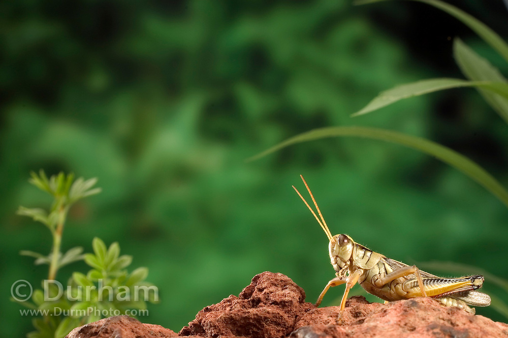 an adult female two-striped grasshopper (melanoplus bivittatus) just before it jumps (1 of 2 in a sequence). Dechutes National Forest, Oregon.
