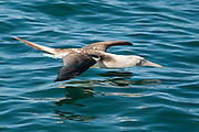 The Blue-footed Booby flew low along the water until it spotted fish and then dove diagonally into the water.  Several individuals continuely circled and dove while the fish remained close to the shore and surface.  After 20 minutes they drifted to other feeding areas.