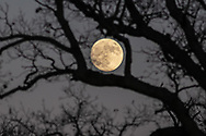 The waxing gibbous moon through the branches on an oak tree at Johnson Farm in Chester, N.Y., on Nov. 28, 2020.
