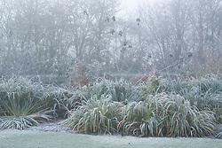 Iris bed in winter