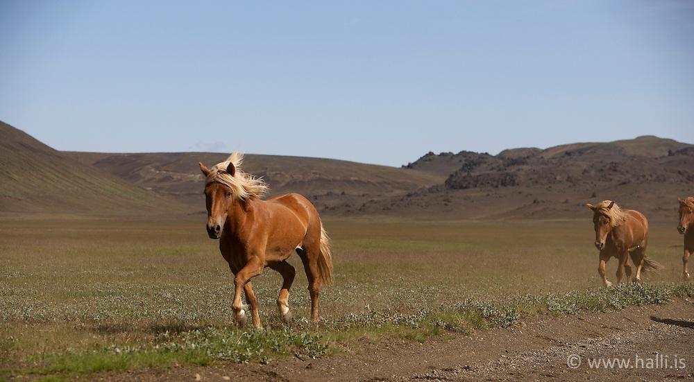 Horses in the highland of Iceland, on the way to Landmannalaugar - Hestar og menn á leið frá Landmannalaugum