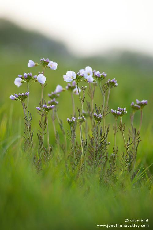 Cardamine pratensis. Lady's Smock, Cuckoo Flower, Milkmaids