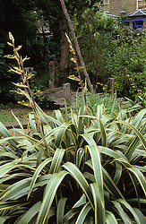 Looking over Phormium cookianum towards the house