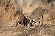 Whitetail deer (Odocoileus virginianus)bucks fighting during the rut