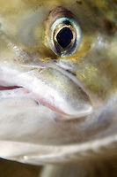 Atlantic Salmon, Salmo salar<br /> River Orkla, Rennebu, Norway. Photographed at catch/release fishing.