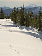 cougar tracks in the snow Mount Tahoma Trails with Mt St Helens in the distance, Cascade Mountain Range, Washington, USA