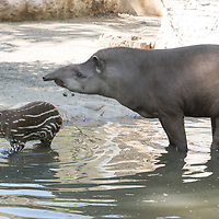 Two month old baby Lowland tapir (Tapirus terrestris) called Hada is seen with her mother in Budapest Zoo in Budapest, Hungary on April 23, 2020. ATTILA VOLGYI