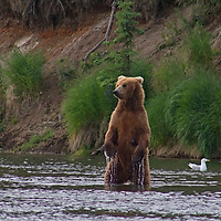 USA, Alaska, Katmai. Grizzly Bear standing upright in water.
