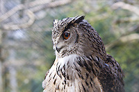 Owl, side