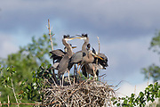 Stock Photo of Great Blue Heron and chicks.  Great blue herons usually use the same nest and add to it. Over the years the nest can measure 4 ft. in diameter.