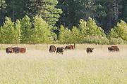 Wagyu Cattle, Tall Grass, Cottonwoods, Alders, Genesee Valley, Spring, California Mountains, Sierra Nevada Mountains