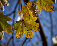 Autumn leaves in my backyard. Outdoor Nature in New Jersey. Image taken with a Fuji X-T1 camera and 60 mm f/2.4 macro lens.