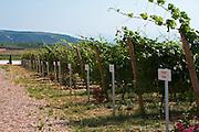 Vines. The ampelographic collection of different vine varieties. Biblia Chora Winery, Kokkinohori, Kavala, Macedonia, Greece