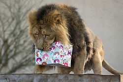 © Licensed to London News Pictures. 12/12/2012. London, UK. Lucifer, the head of London Zoo's Asian lion pride, investigates a meat laden Christmas present left by a keeper as an early festive treat in London today (12/12/12). Photo credit: Matt Cetti-Roberts/LNP