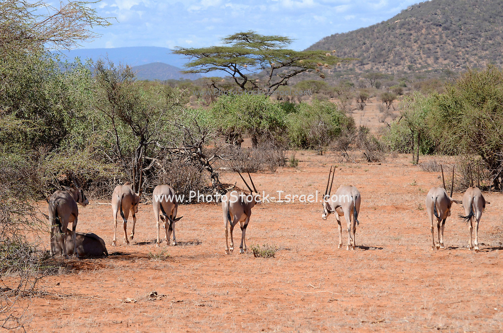 Kenya, Samburu National Reserve, a heard of Gemsbok (Beisa Oryx),