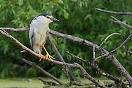 Night heron, Nycticorax nycticorax, Danube delta rewilding area, Romania