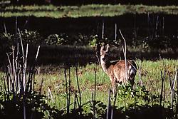 Deer On Valley Floor
