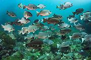 Dusky chub (Girella freminvillei)<br /> Buccaneer Cove, Santiago Island<br /> Galapagos<br /> Ecuador, South America<br /> ENDEMIC TO GALAPAGOS